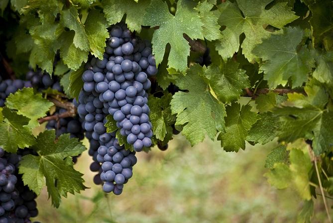 Motto zur Erstkommunion: Weinstock als Thema